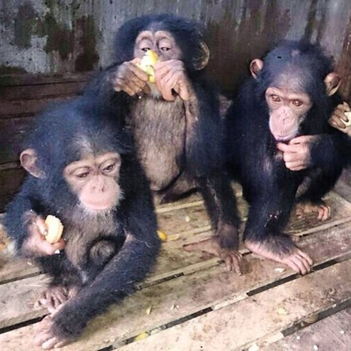 Three chimpanzees captured in Ghana before transport.
