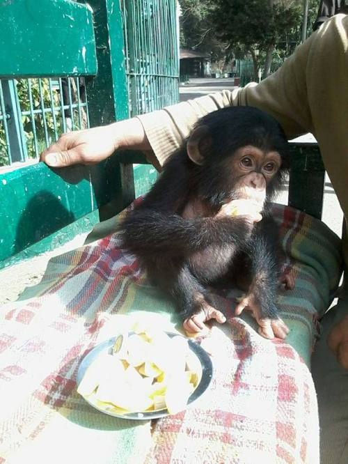 The baby chimpanzee seized in the Cairo Airport was put into a cold, hard cell in the Giza Zoo. (Photo: Mohammed And Elhammid)