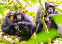 Chimpanzees should remain free in their forest homes