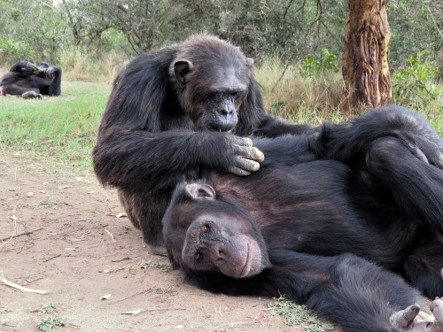 Sweetwaters chimpanzees live a good life