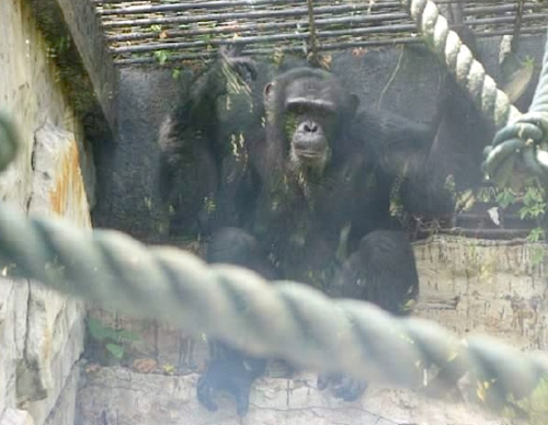 Chimelong chimp