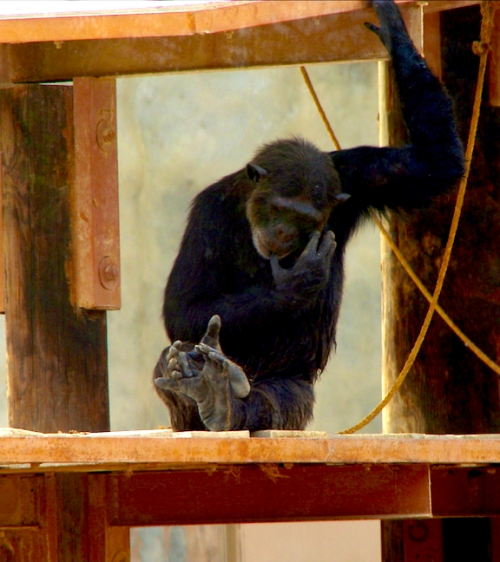 The spacious chimpanzee enclosure contained four animals.