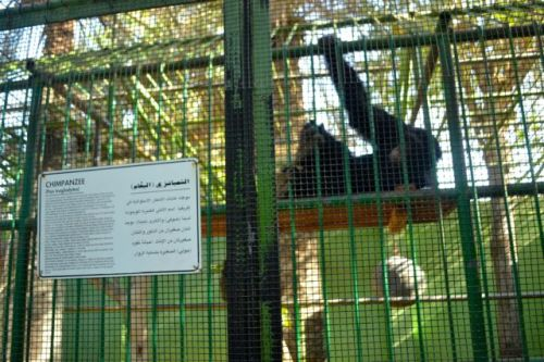 The four chimpanzees are held in two squalid cages.