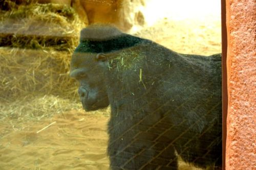 Lady is a western lowland gorilla that arrived at Al Ain Zoo in 1978. She has been alone since about 2006.