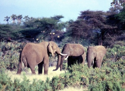 Elephants in the wild, where they belong