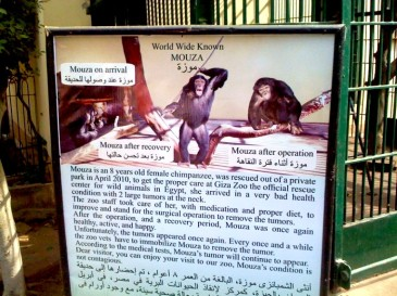 Sign in the Giza Zoo explaining Mouza's illness (photo: Hilda Tresz)