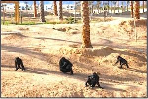 PASA Egypt gorillas