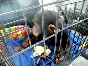 Jacksy being rescued and driven to Libassa. She quietly munched bananas on the drive there. (Photos: D. Stiles)