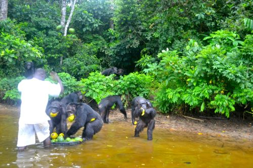 The chimpanzees dig into the fruit basin with delight. (Photo: D. Stiles)