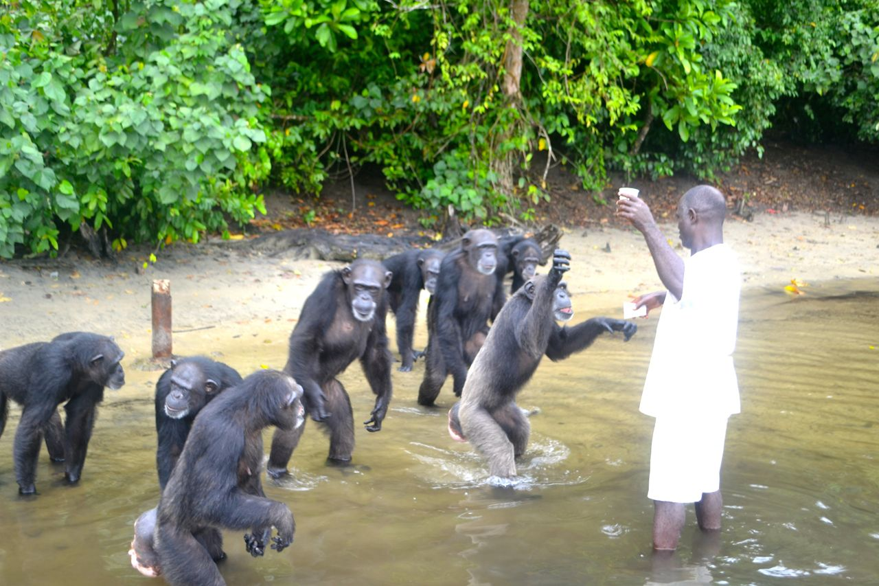 Each chimpanzee was also administered a measured amount of milk. (Photo: D. Stiles)