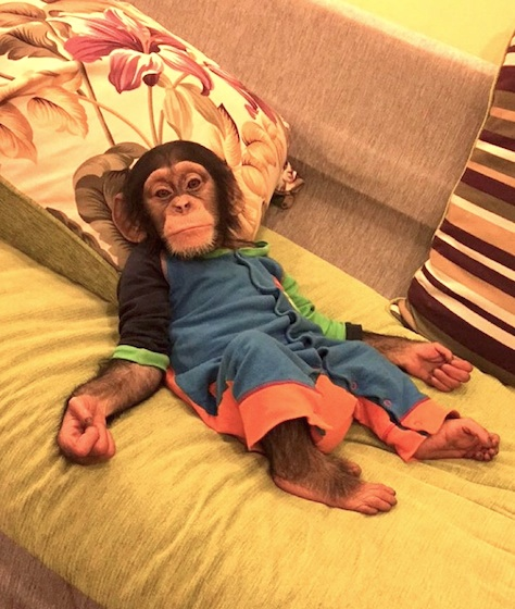 Perhaps the Kinshasa chimpanzee is a pet of a wealthy Emirati today.