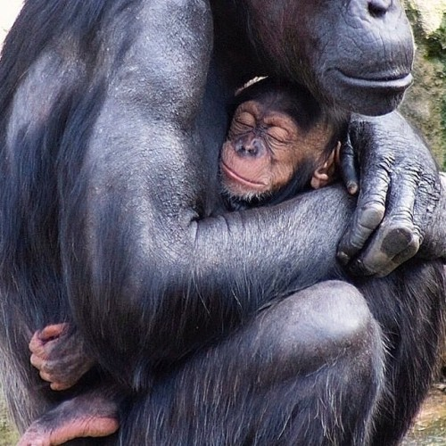 Chimpanzee mothers are very protective of their infants. The mothers always have to be killed or incapacitated to capture the infants for trade.