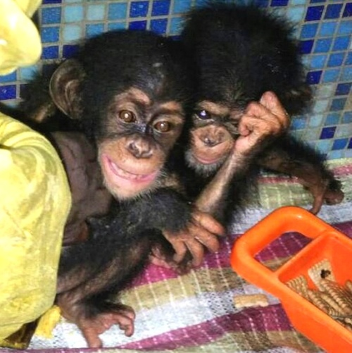 The chimpanzees arrive in Dubai in March 2015, frightened and traumatized from the long journey.