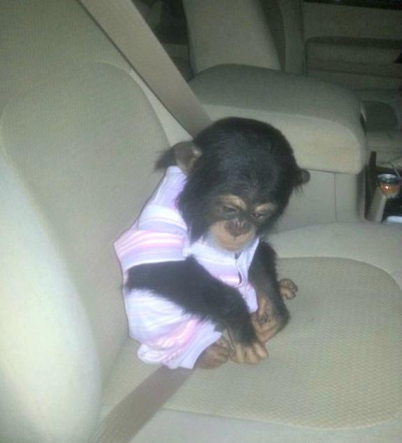 1Qatar seized chimp