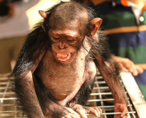 The chimpanzee that came with Manno from Damascus has disappeared from the Erbil Zoo. (Photo courtesy of Animals Lebanon)