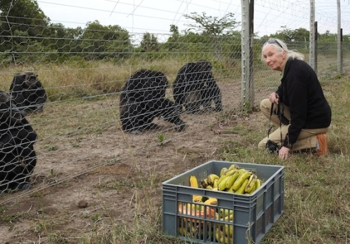 Jane Goodall is a good friend of Sweetwaters Chimpanzee Sanctuary. When Spencer Sekyar pleaded for help to free Manno, Jane immediately thought of Sweetwaters. (Photo: PEGAS)