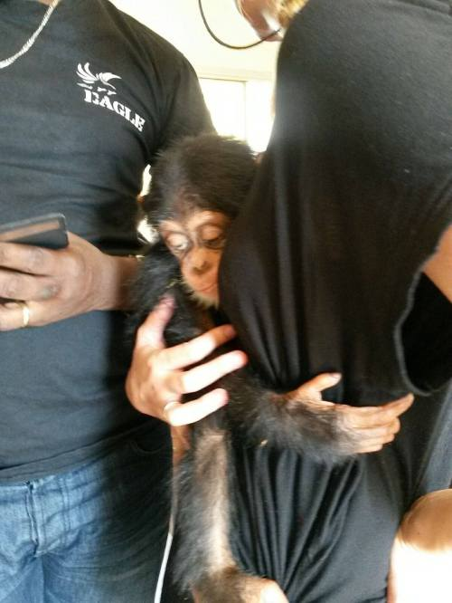 A baby chimpanzee seized recently in Guinea destined for the pet market. With no support from President Condé this will continue. (Photo/GALF)