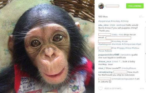 This chimpanzee belonged to someone in the UAE, but a dealer in Indonesia put it up for sale. Did the owner know?