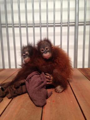 Two infant orangutans turned up recently at the Phuket Zoo in Thailand.