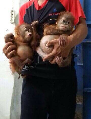 The two orangutan babies offered to PEGAS for sale using WhatsApp