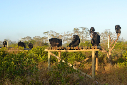 Or here at Sweetwaters, living in the African bush with other chimps?